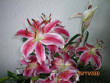 rotweiße Lilie