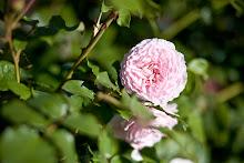 James Galway - en härlig blekrosa ros!