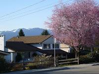 Kirsikkapuut ovat tulossa täyteen kukkaan...!!!
