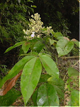 Family: Verbenaceae