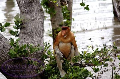 El Mono Narigudo o Násico