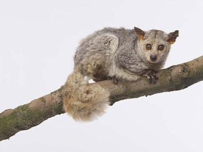 El Galago - bebés de arbustos