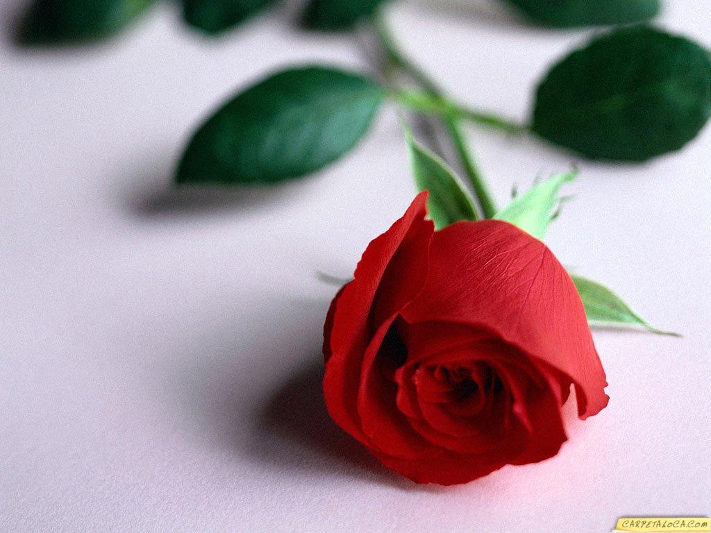 Red Rose Flower Love