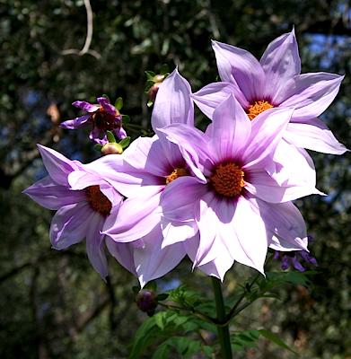 Renato photoblog dahlia imperialis dahlia maxonii for Dalie giganti