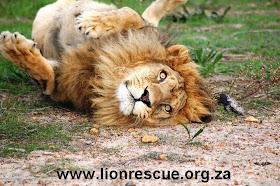 Gaucho en Drakenstein Lion Park, Sudáfrica