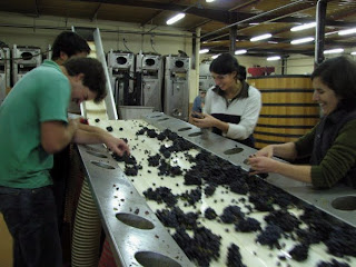 Sorting grapes at Domaine de la Vougeraie Harvest 2008