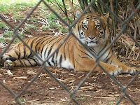 Tiger staring through a fence at camera
