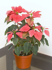 Kastuba, Christmas Flower