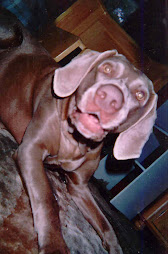 health and wellness contributes to weimaraner troupe free of cancer.