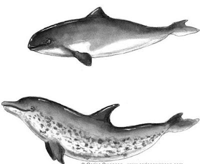 Porpoise teeth vs dolphin teeth - photo#16