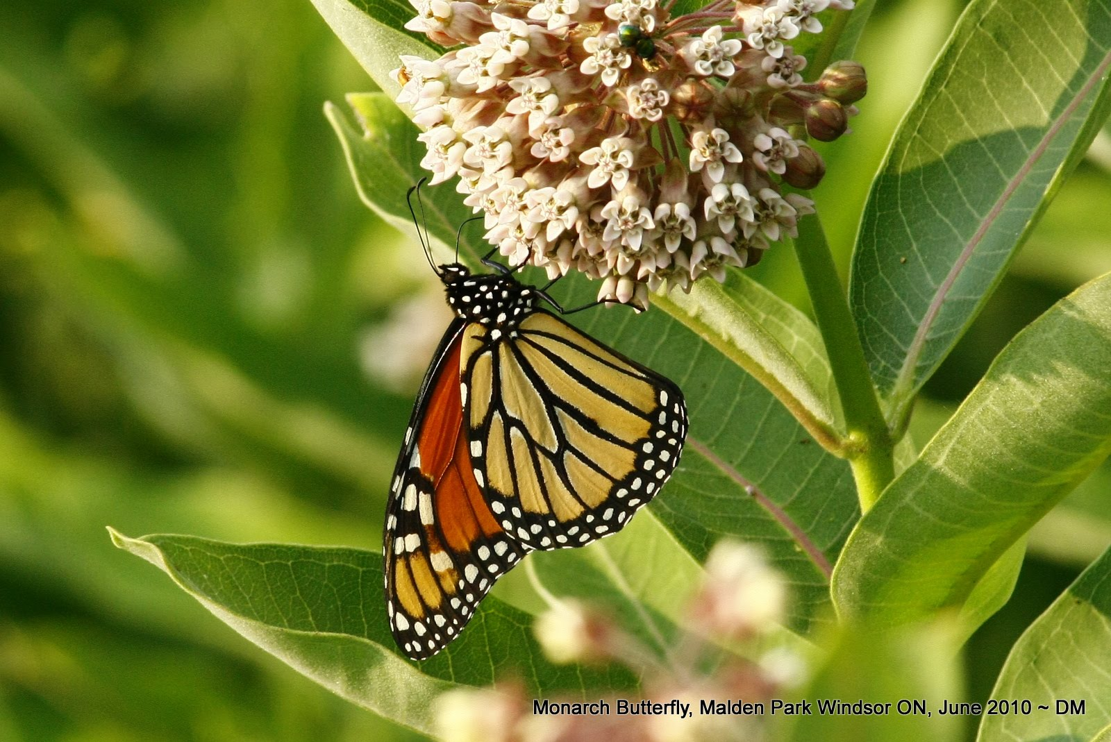 monarch butterflies coevolution with milkweed essay Free essay: the monarch butterfly, as known as danaus plexippus, is often called the milkweed butterfly because its larvae eat the milkweed plant second, the milkweed plant in which the caterpillar eats has toxins which make the wings of the butterfly distasteful to predators.