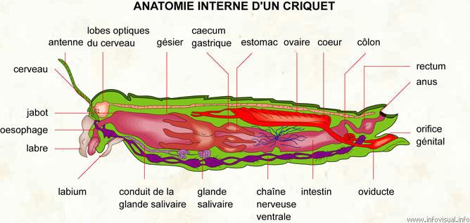 Grasshopper anatomy diagram