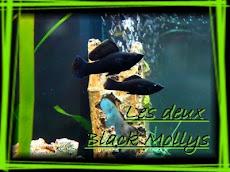 BLACKMOLLYS