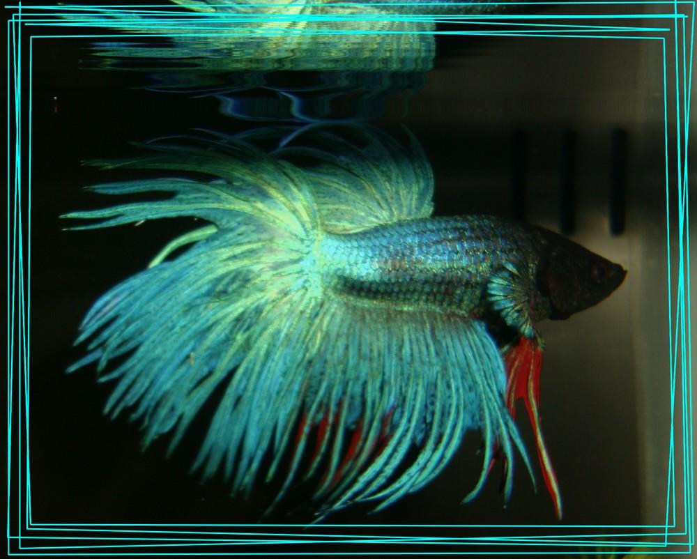 Bienvenue dans notre aquarium 11 oct 2010 for Nourriture poisson betta