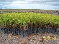 Acacia mangium seedlings