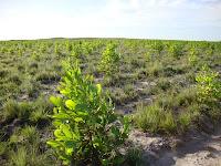 Pre-pruning Acacia mangium