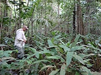 Natural tropical forest is less dense than plantation forests