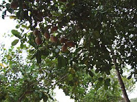 Merecure tree and fruits feed people and wildlife