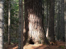 Maine State Tree:  Eastern White Pine