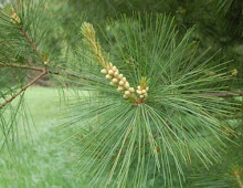 Maine State Flower: Eastern White Pine Cone and Tassel