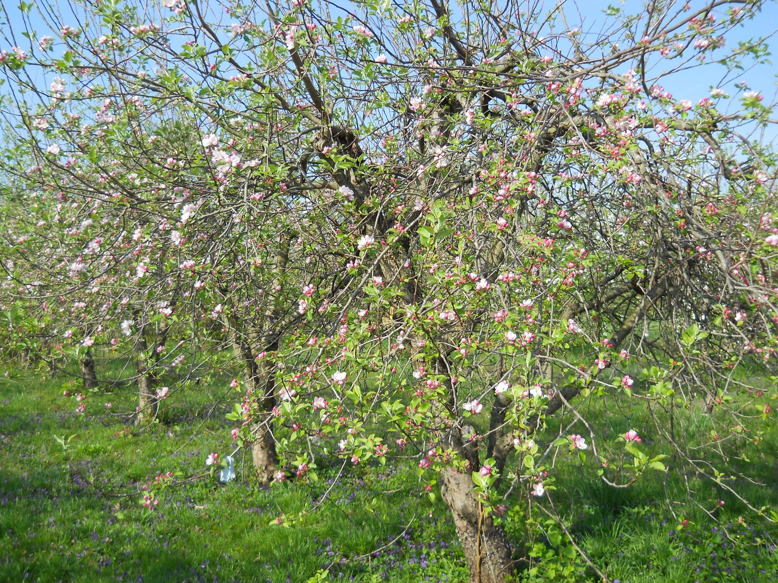 backyard orchard orchard in bloom