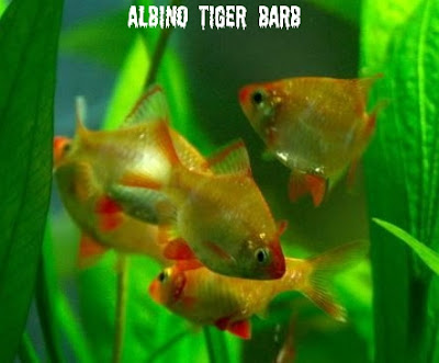 ... barb arulius barb red black tiger barbus ticto checkered barb cherry