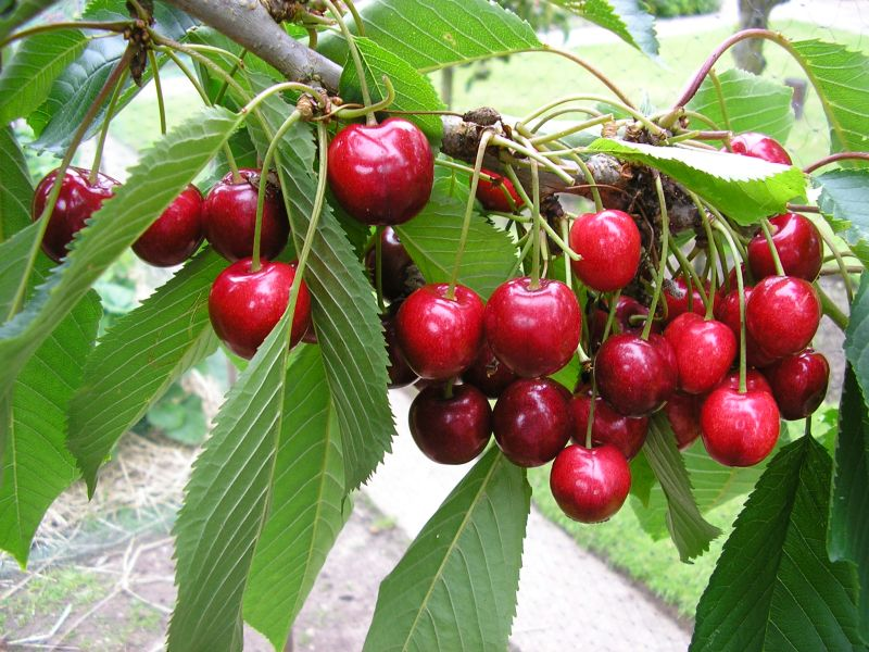 Different types of cherry trees