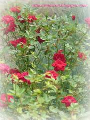 Rosas de Salta