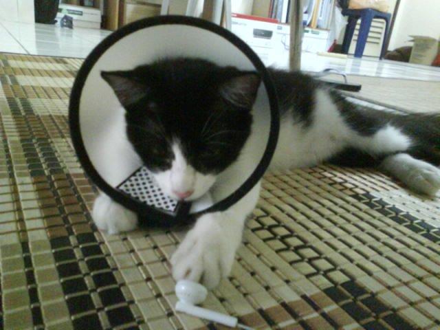 Kutu Telinga Kucing Ear Mites My Dearcats Dc