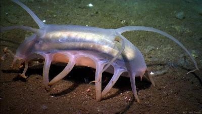 หมูทะเล ( Sea Pig )