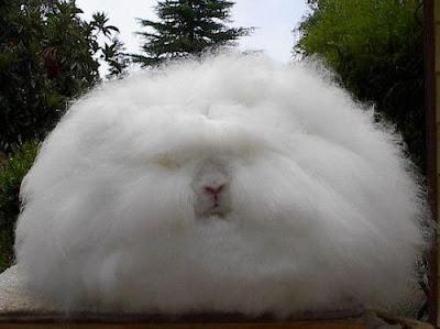 กระต่ายขนยาวที่สุดในโลก