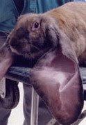 กระต่ายหูยาวที่สุดในโลก