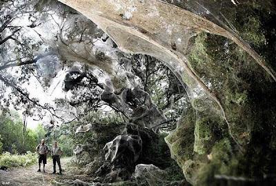 ใยแมงมุม ใหญ่ที่สุดในโลก