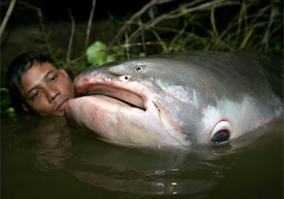 ปลาบึก ปลาน้ำจีด ที่ ใหญ่ที่สุดในโลก