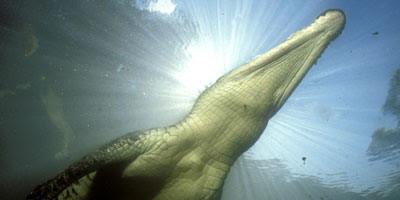 จระเข้น้ำเค็ม จระเข้สายพันธุ์ที่ใหญ่ที่สุดในโลก และดุร้ายที่สุด