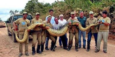 งูอนาคอนดาเขียว งู ตัวใหญ่ที่สุดในโลก
