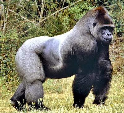 ลิงกอริล่า ลิงไร้หาง ตัวใหญ่ที่สุดในโลก