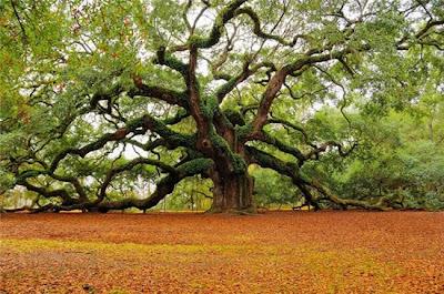ต้นไม้ใหญ่ กับ นางไม้ (Angel Oak)