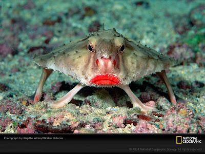 ปลาค้างคาว ปากแดงกุหลาบ ( Rosy-Lipped Batfish )
