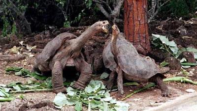 เต่ายักษ์