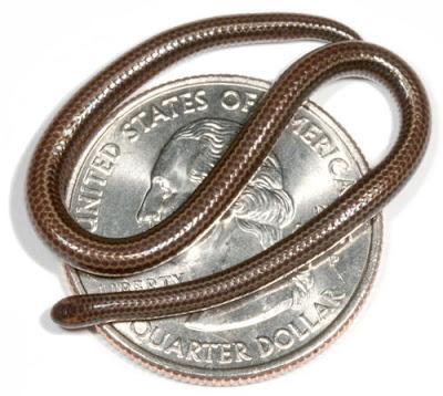 งู เล็กที่สุดในโลก (World's Smallest Snake)