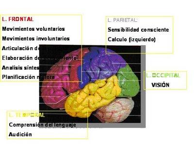 Sumérgete en el maravilloso mundo de nuestro Sistema Nervioso ...