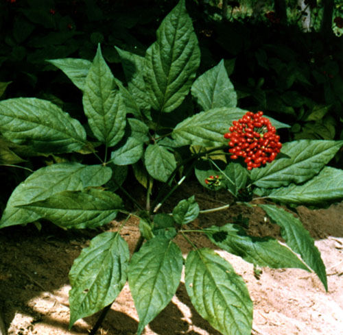 Ginseng Plant Pictures