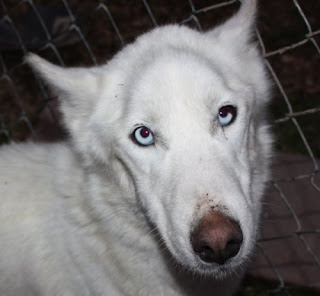 Sidney , a 2-3 year old White german Shepherd/Husky mix (blue eyes ...