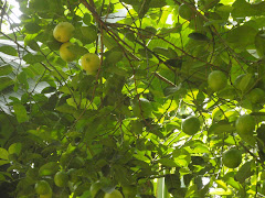 Lemon Tree in August
