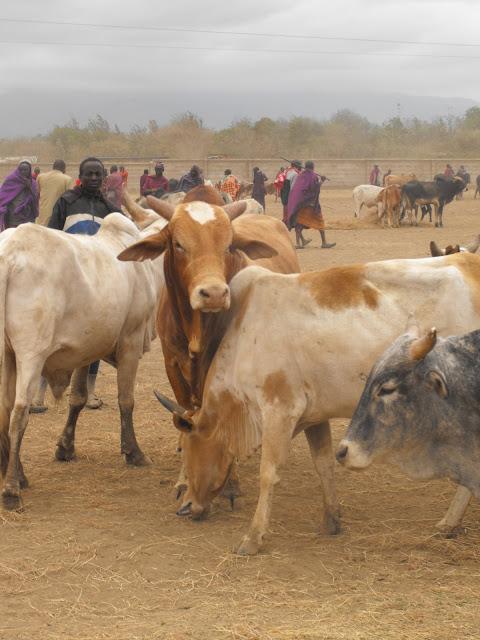29 septembre - Marche bovin d'Arusha