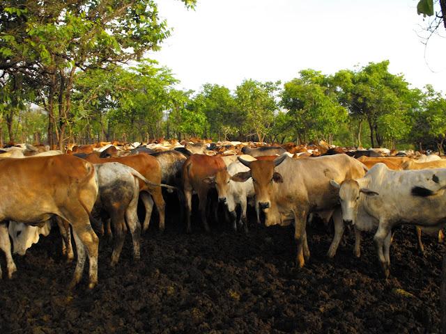 12 Decembre - 7000 hectars et plus de 2000 vaches !