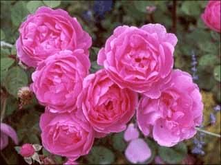 Pink Rose & Peace