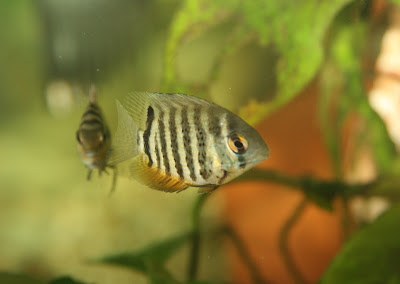 Guppy Fish Yahoo Dark Blue Moscow Guppies Freshwater Fish furthermore Oscar in addition Convict Hybrids besides Albino Red Tiger Oscar 7 5cm 1704 together with Oscar Fish. on oscar cichlid colors