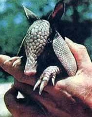 Армадилло-Броненосец (Dasypodidae)